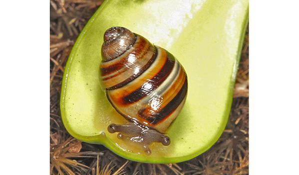 Steve Irwin's snail Crikey Steveirwini