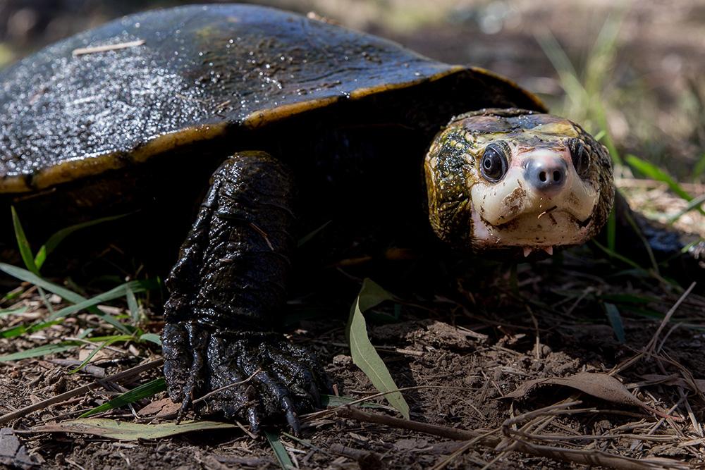 Steve Irwin's turtle Elseya Irwini