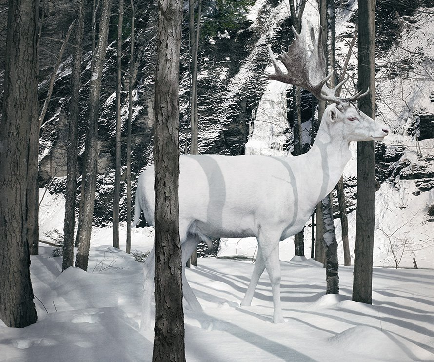 White Stag in snow