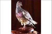 """Countless carrier pigeons were used in WWI, but only one was bestowed with medals of high honor - the pigeon named Cher Amis """"Dear Friend"""" saved the lives of 190 American soldiers completely surrounded by German forces at the Battle of Argonne in 1917. (wikipedia.org)"""