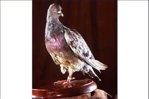 "Countless carrier pigeons were used in WWI, but only one was bestowed with medals of high honor - the pigeon named Cher Amis ""Dear Friend"" saved the lives of 190 American soldiers completely surrounded by German forces at the Battle of Argonne in 1917. (wikipedia.org)"