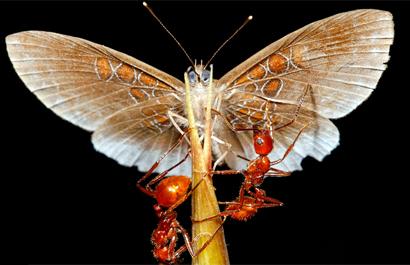 Butterfly Ants