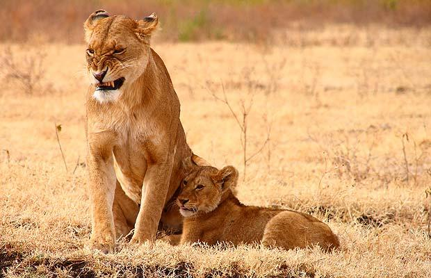 lioness-with-cub-snarling