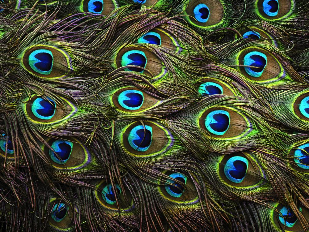 Tail peacock feathers (Pavo cristatus)